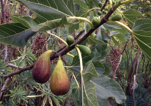big figs