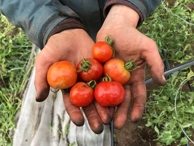 farmer hands holding small tomatoes