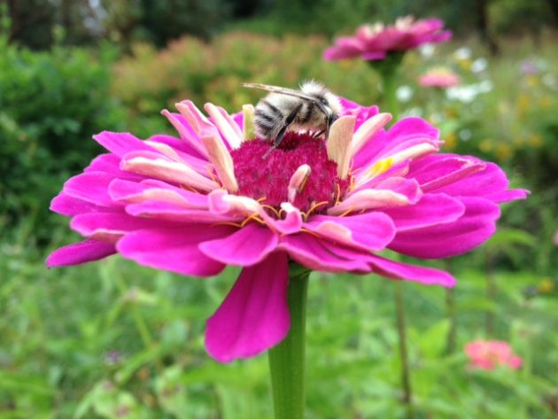 Pollinator on a pink zinnia flower