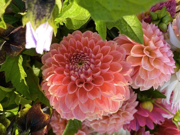 Persephone Farm dahlia bouquet