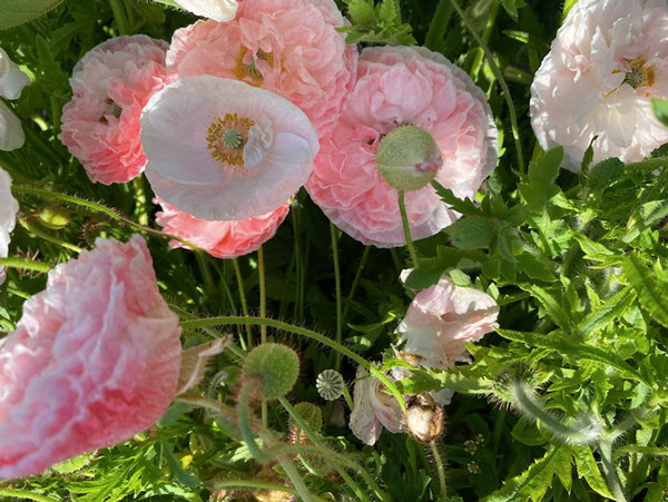 Double Poppies at Persephone Farm