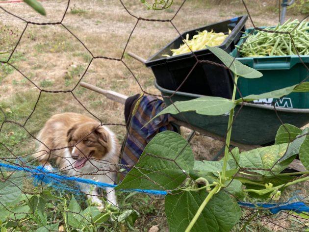Persephone Farm, Indianola, WA, Beans, Vegetables
