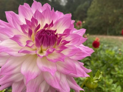 Persephone Farm, Indianola, WA, Dahlia, flowers