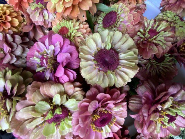 Persephone Farm, Indianola, WA, Flowers, Zinnias